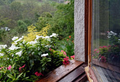 Singrün (Vinca) am regnerischen Tag stockfoto