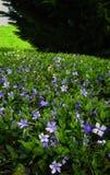 Singrünblumen in der Blüte auf kriechendem Myrtle Groundcover Stockbild
