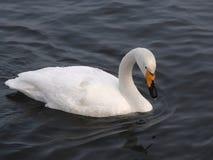 Singschwan auf der Wassernahaufnahme 1 stockfoto