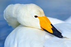 Singschwan, Cygnus Cygnus, Detailrechnungsporträt des Vogels mit dem schwarzen und gelben Schnabel, Hokkaido, Japan Lizenzfreies Stockbild