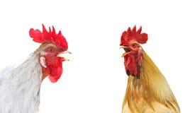 Singt bunter Hahn zwei Duoschnäbel, auf einem weißen Hintergrund Stockbild