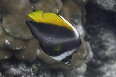 Singular bannerfish (Heniochus singularius) in Andaman Sea Stock Photography