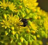 Singular bee thyreus histrionicus on aeonium flowers Stock Photos