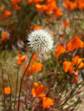 Singular Bloom. Lone white flower among field of poppies Stock Image
