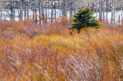 Singular Evergreen. Evergreen tree in field of willows with aspens behind Stock Images