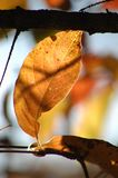 Singular gold leaf in autumn in the adirondack mountains royalty free stock image