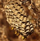 Singular nest of wasps hanging from a bush branch Stock Images
