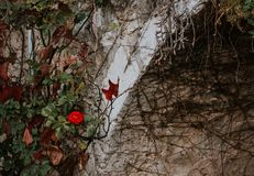 Singular red wild rose and weeds, wallflowers. In medieval city Stock Photography