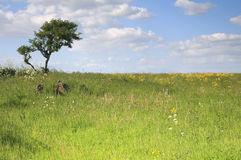 Singular tree. In a meadow on top of the Mendip hills in Somerset Stock Photography