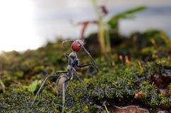 Singularis del Camponotus Foto de archivo