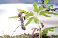 Singularis del Camponotus Imagen de archivo libre de regalías