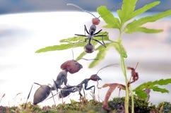 Singularis van Camponotus Stock Foto's