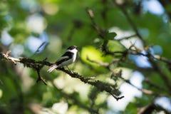 Singvogel, der in einem hellen Laubwald singt Stockbilder
