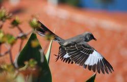 Singvogel im Flug lizenzfreies stockfoto