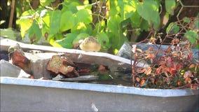 Singvogel nimmt ein Bad draußen stock video