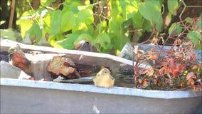 Singvogel nimmt ein Bad draußen stock footage