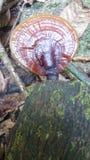 Sinharaja森林真菌花发光 免版税库存照片