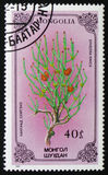 麻黄sinica或中国麻黄,系列致力了于花,大约1986年 免版税图库摄影