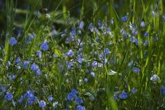 Sinii λουλουδιών άνθισης Στοκ Εικόνα
