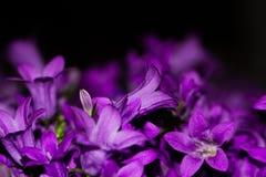 Sinii flowers Stock Photos