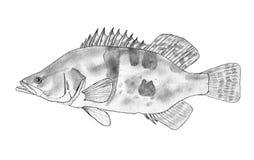 Siniperca chuatsi. Black and white hand drawn illustration