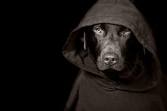 Sinister Looking Dog in Hooded Top Royalty Free Stock Images