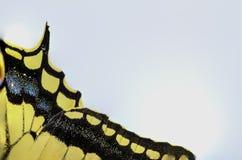 sinistra bianca di coda di rondine della farfalla Fotografia Stock