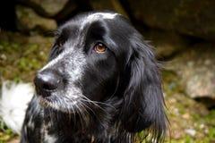 Sinistra di sorveglianza in bianco e nero del cane fotografia stock