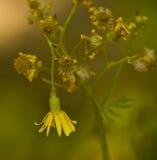 Sinkende yellowtop Blume Lizenzfreie Stockfotos