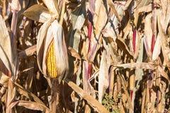 Sinkendes Ohr von Autumn Corn Stockfotografie