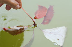 Sinking Leaf Stock Photography
