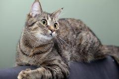 Sinnesrörelser av en katt Royaltyfri Fotografi