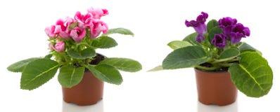 sinningia бака цветков цветка Стоковое Изображение RF