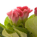 Sinningia speciosa (Florist's Gloxinia) Stock Images