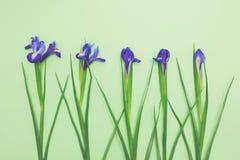 Sinnliche Blumen von frischen blauen Narzissen auf hellgrünem Draufsicht-Kopienraum des Hintergrundes lizenzfreie stockfotografie
