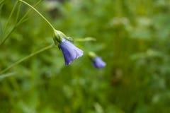 Sino azul da flor com drople da água fotografia de stock
