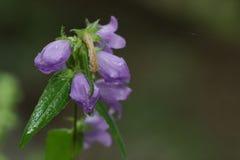 Sino-flor (campânula) Fotos de Stock Royalty Free