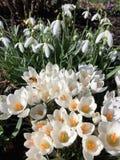 Sinos da neve e flores do açafrão Imagens de Stock Royalty Free