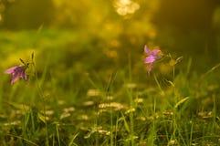 Sinos delicados do lilás das flores Foto de Stock