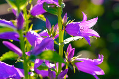 Sinos violetas fotografia de stock royalty free