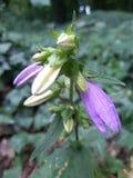 Sinos violetas emergentes Fotos de Stock Royalty Free