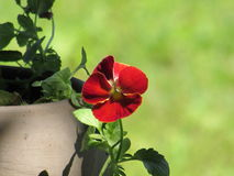 Single Red Pansy in Taupe Pot Against Light Green Background. A small pansy pot in my garden Royalty Free Stock Photography