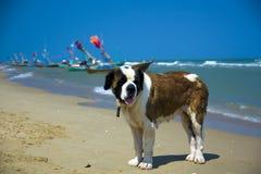 Sint-bernard op het strand royalty-vrije stock foto