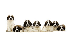 Sint-bernardpuppy op wit worden geïsoleerd dat Royalty-vrije Stock Foto