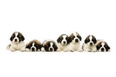 Sint-bernardpuppy op wit worden geïsoleerd dat Royalty-vrije Stock Fotografie