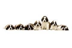 Sint-bernardpuppy op wit worden geïsoleerd dat Stock Foto's
