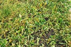 Sintoma da erva daninha após ter pulverizado o herbicida Imagens de Stock Royalty Free