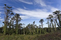 Sintra Forest Pines Royalty Free Stock Images