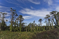 Sintra Forest Pines Royalty Free Stock Photo