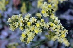 Sinuatum de Pale Yellow Limonium en la floración Foto de archivo libre de regalías